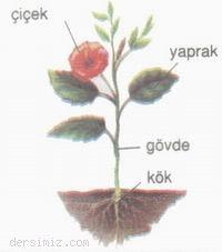 Bitkilerin-Genel-Yapisi