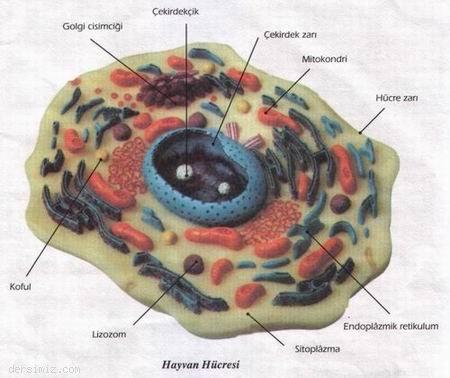 Hucre-ZariSitoplazma-ve-Cekirdek